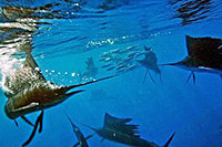 Sailfish Snorkeling Tour Cozumel