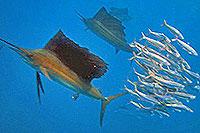 Cozumel Sailfish Snorkeling